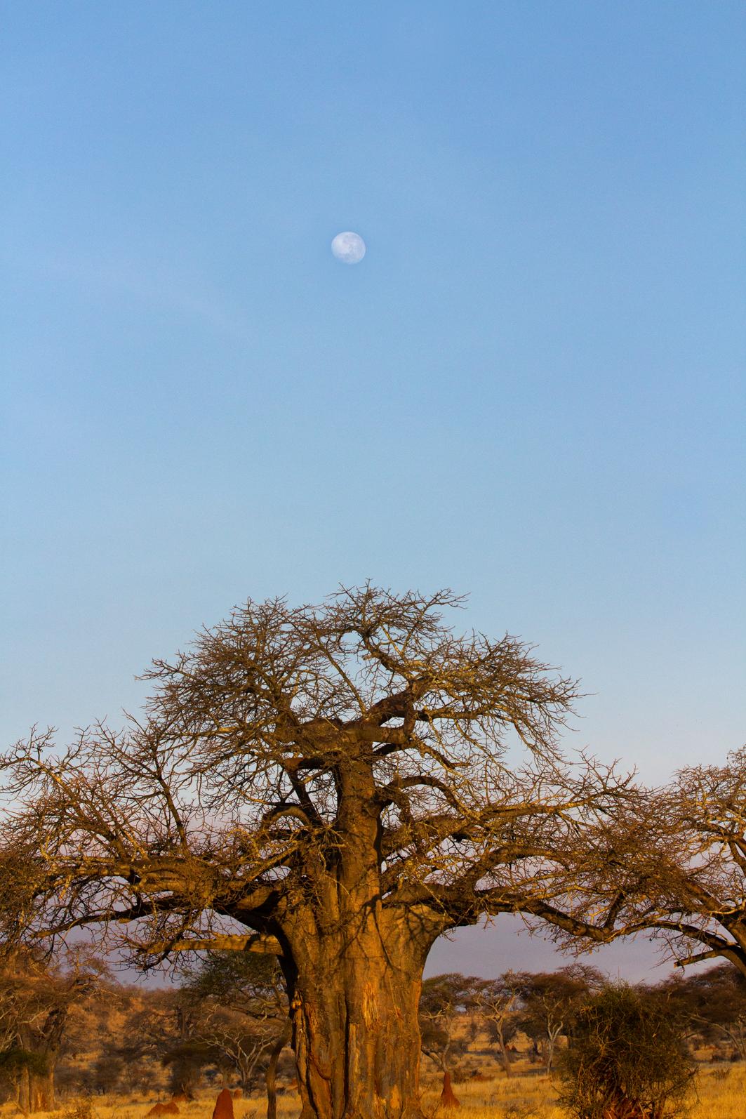 Moon over baobobs, Tarangire