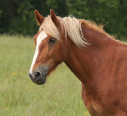 Chestnut with a Flaxen Mane