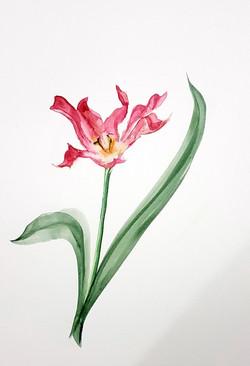 Fluted Tulip