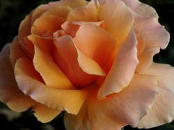 'Just Joey' rose