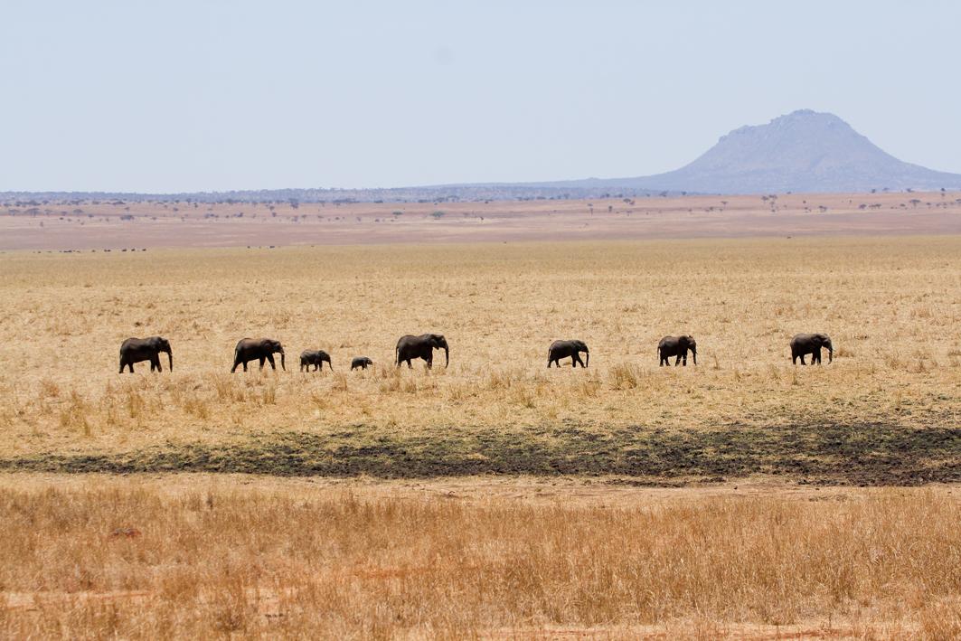 Elephant, Silala Swamp, Tarangire NP