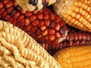 「基因改造食品」的迷思