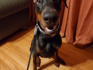 Dante | Doberman Pinscher | Sun Valley, Ca | In-Training