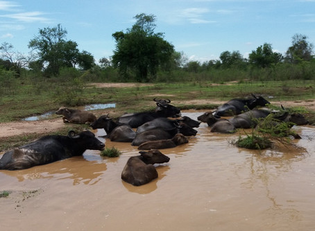 Where the (Water) Buffalo Roam