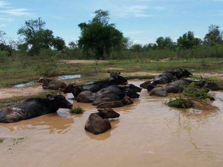 Where the (Water) Buffalo Roam