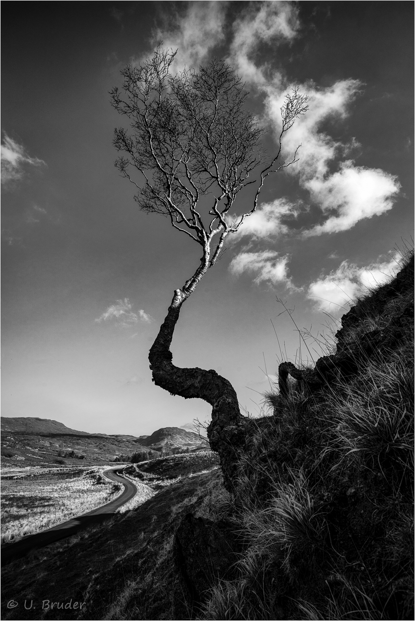 Scottish tree 1