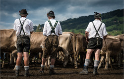 Viehscheid cattle drive
