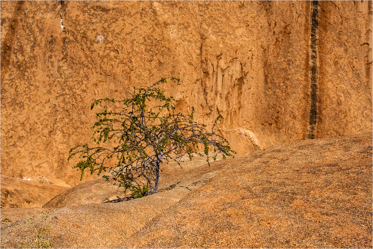 Desert tree / Tree on rocks