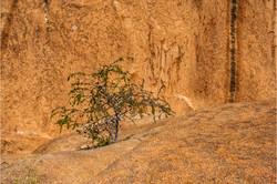 Desert tree / Tree on rocks