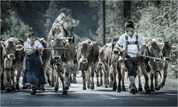 Viehscheid cattle drive I