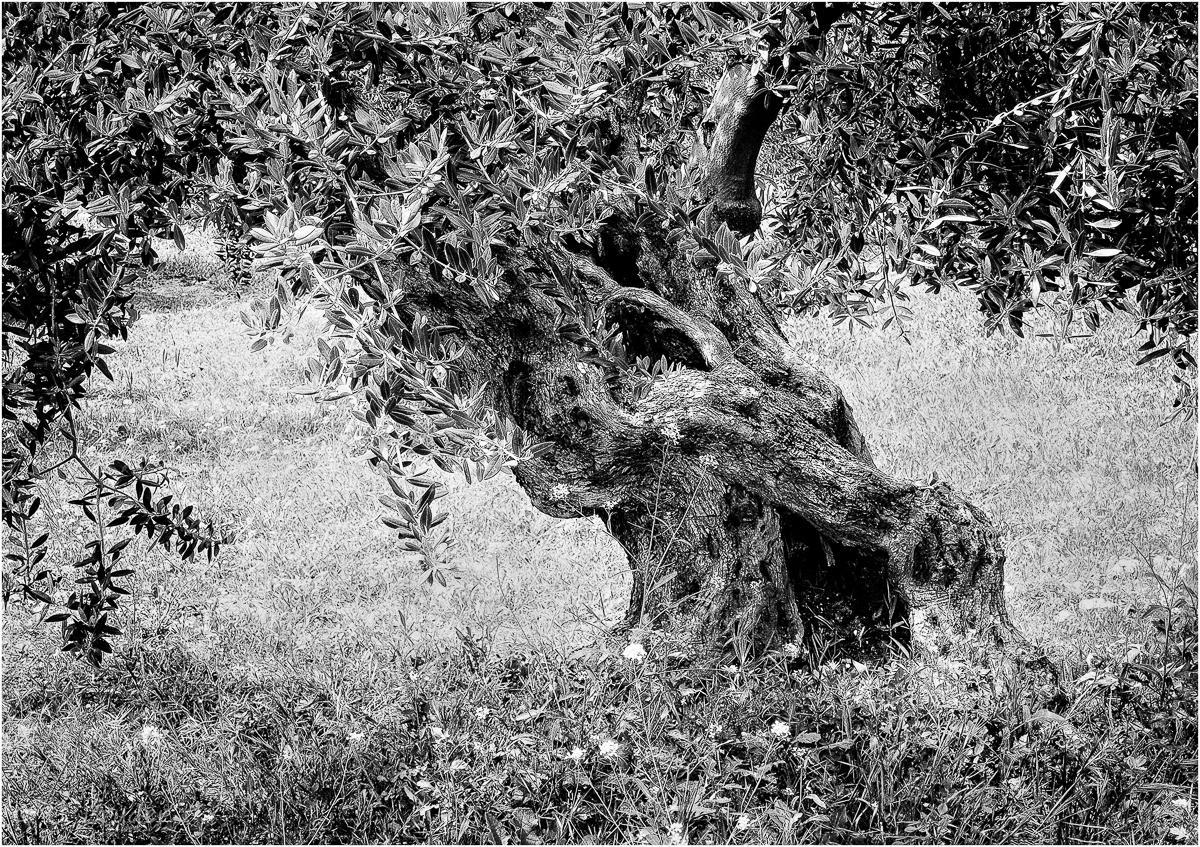 knorrig / old gnarled Olive Tree