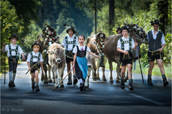 Viehscheid cattle drive II