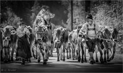 Viehscheid cattle drive I sw.jpg