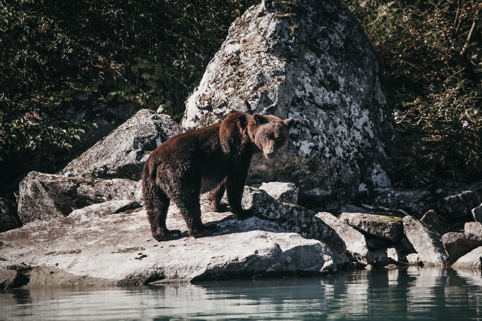 Brown Bear | Alaska