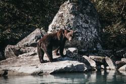 Brown Bear | Alaska