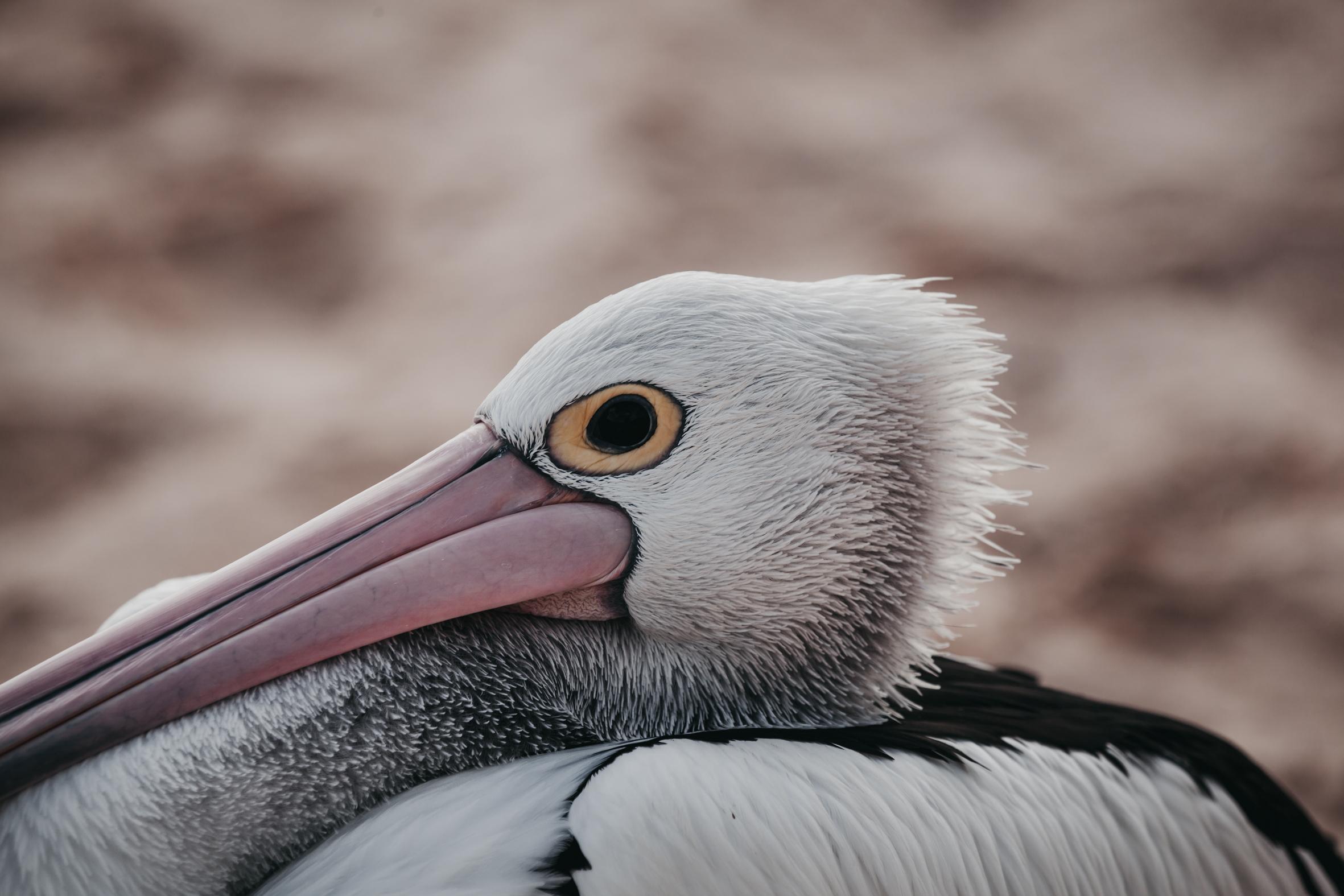 Pelican | Western Australia