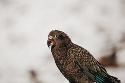 Kea Bird | Wanka | New Zealand