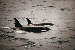 Orca | Alaska