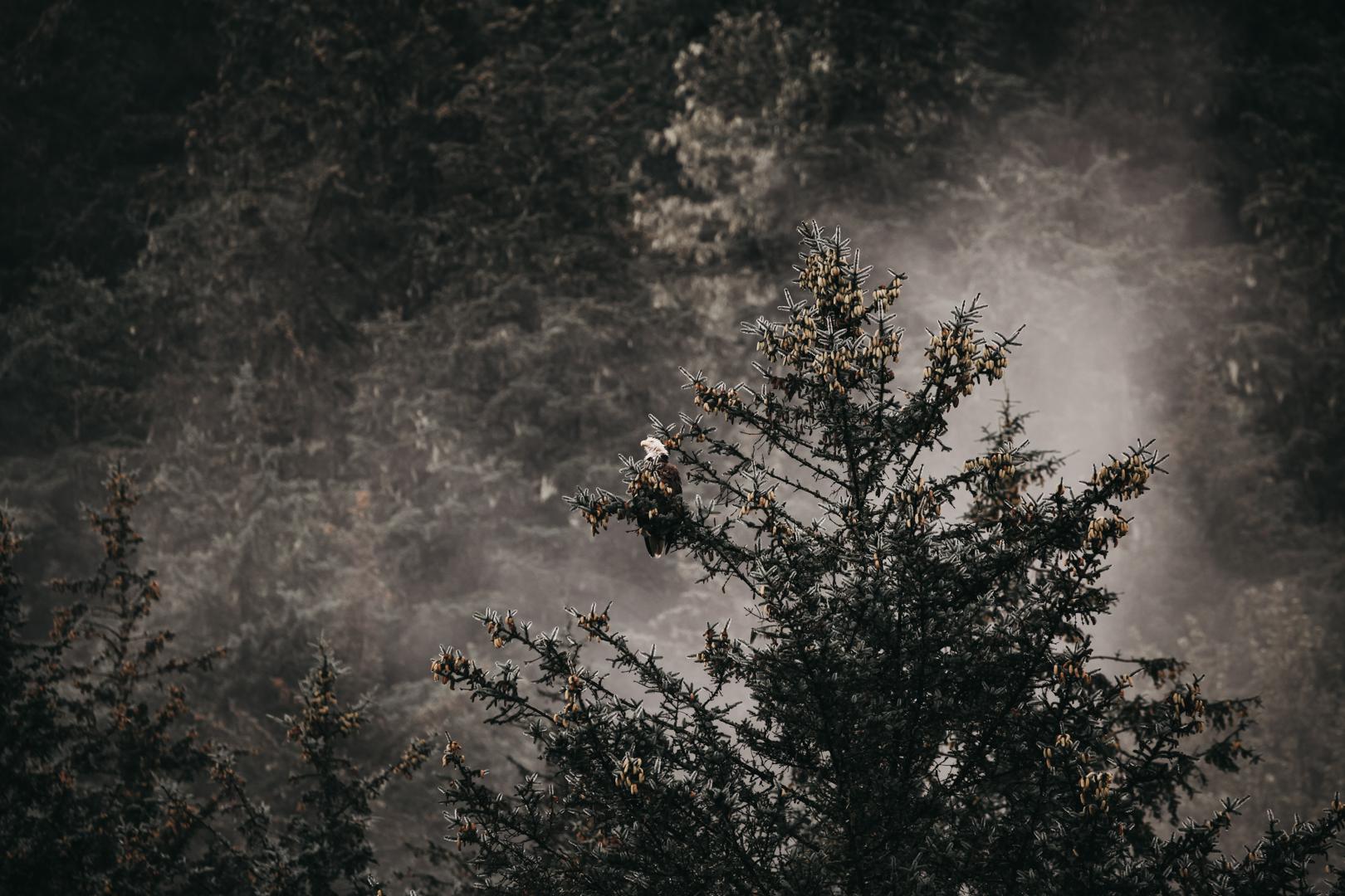 Bald Eagle | Alaska
