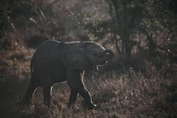 Eelephant | South Africa