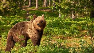 Bear_in_woods.jpg