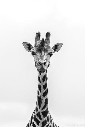 POCA POSTCARD Giraffe | black white | Longing for