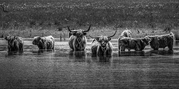 Schotse Hooglander familie in water