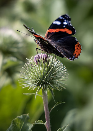 POCA POSTCARD butterfly   colour   BUT-I-FLY