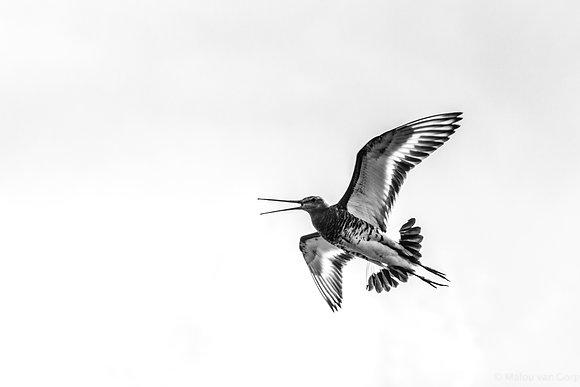 POCA POSTCARD black-tailed godwit   black white   High flyer