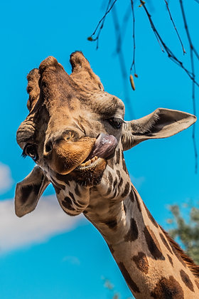 POCA POSTCARD Giraffe | colour | CrazY AbouT YoU!