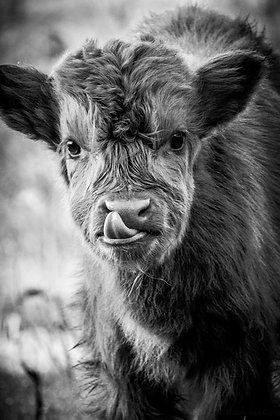 POCA POSTCARD cattle calf | black white | QtyPie