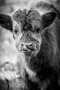 Schotse hooglander kalfje