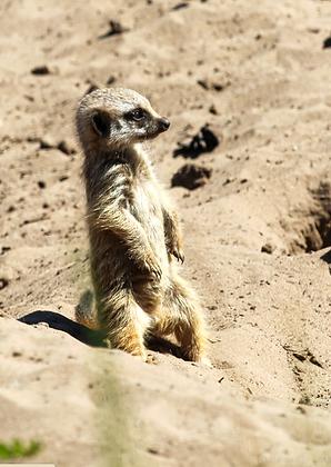 POCA POSTCARD meerkat | colour | SAY WHAT?