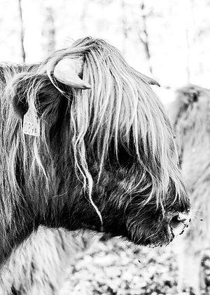 POCA POSTCARD   Scottish highlander   black white   Highfive