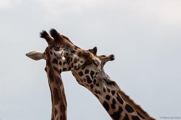 POCA POSTCARD Giraffes   colour   beLONG