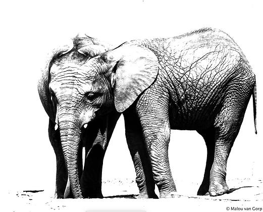 POCA POSTCARD elephants | black white | Elephantasia