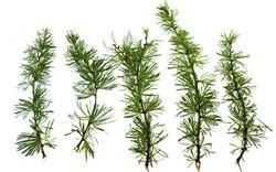 "Branches Mélèze ""Larch"""