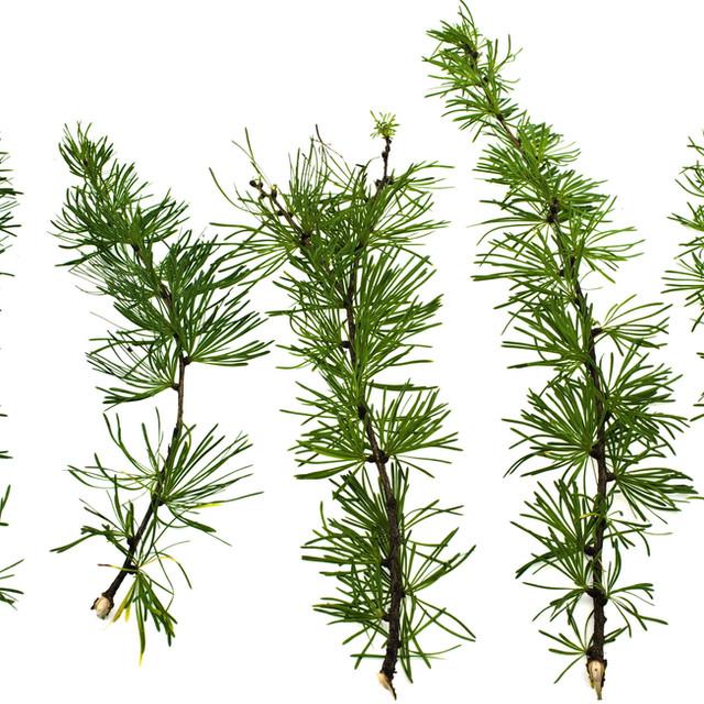 Branches Mélèze