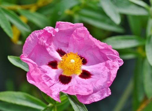 Wunderpflanze Zistrose (Cistus incanus)