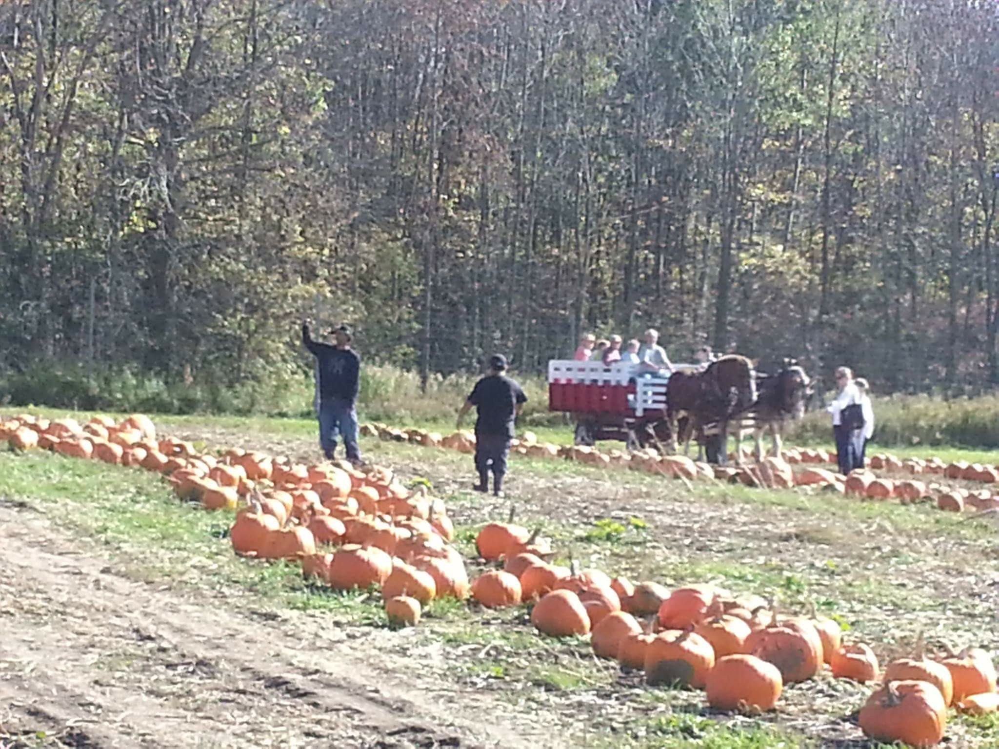 Landscape shot of pumpkin patch