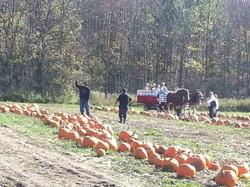 Landscape shot of pumpkin patch