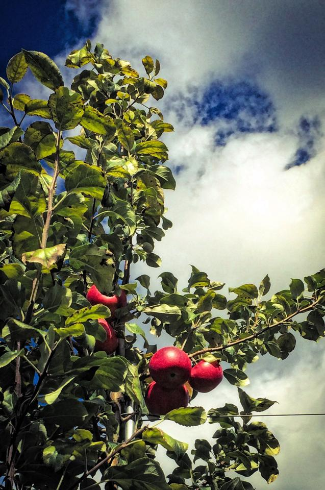 Photo of apples and sky in back