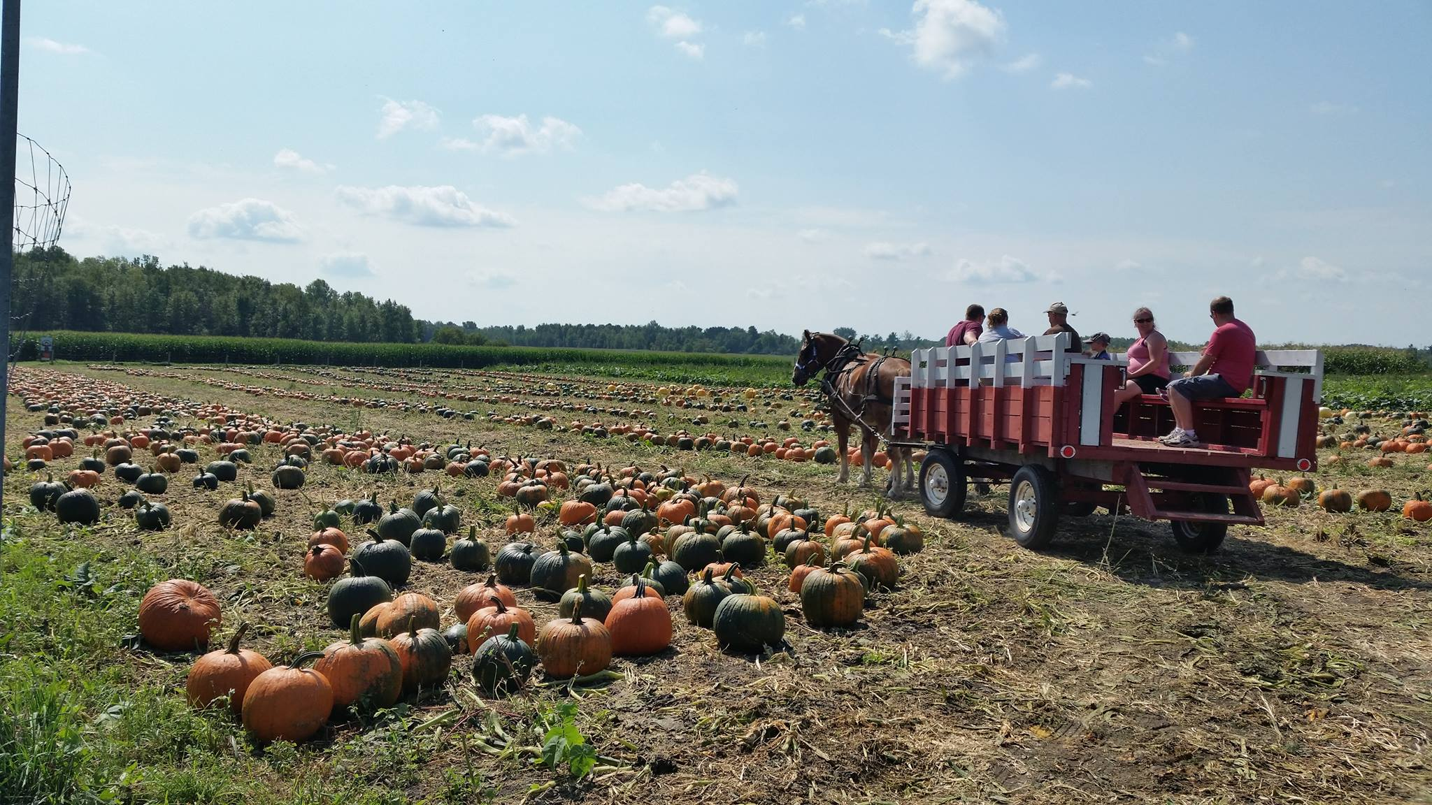 Horse carriage in pumpkin patch