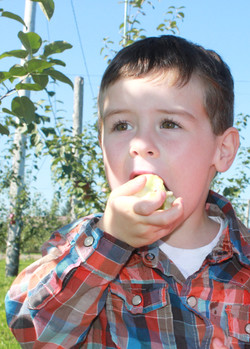 Young boy biting honey crisp apple