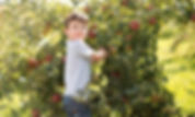 Young boy picking in apple orchard