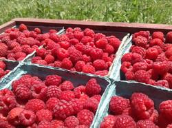 Raspberry cartons from u-pick