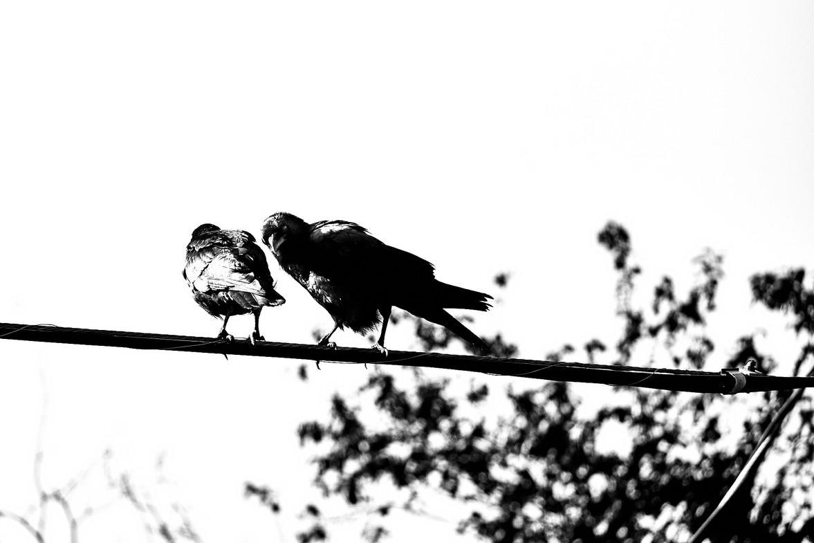 07 17 Crows _DSF3863.jpg