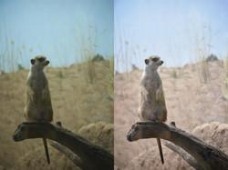 Meerkat Comparison