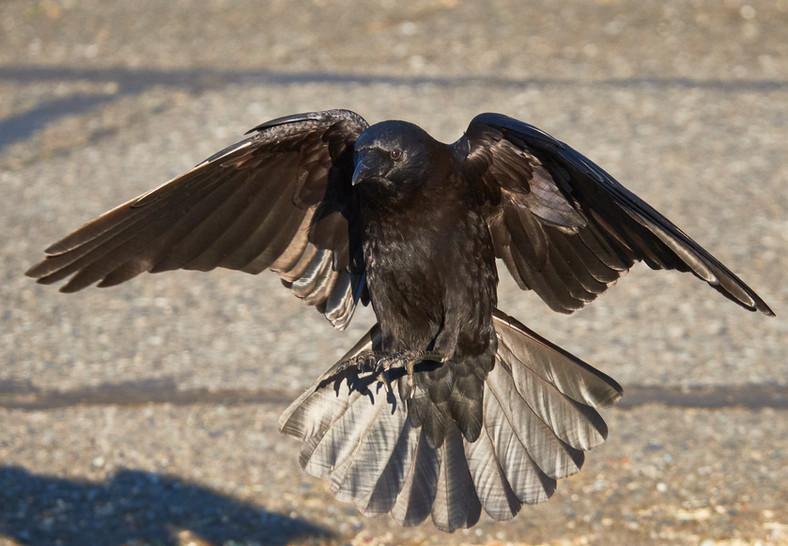 05 21 Crow DSCF2024.jpg