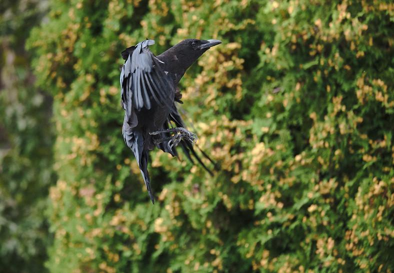 08 22 Crows DSCF4861.jpg